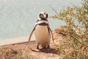 pingüino-2