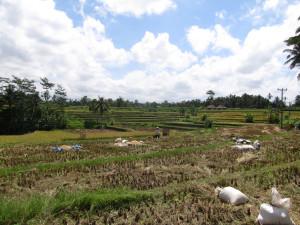 arrozales-ubud