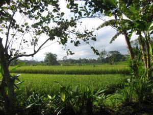arrozales3