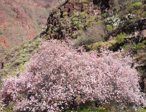Gran Canaria y sus almendros en flor
