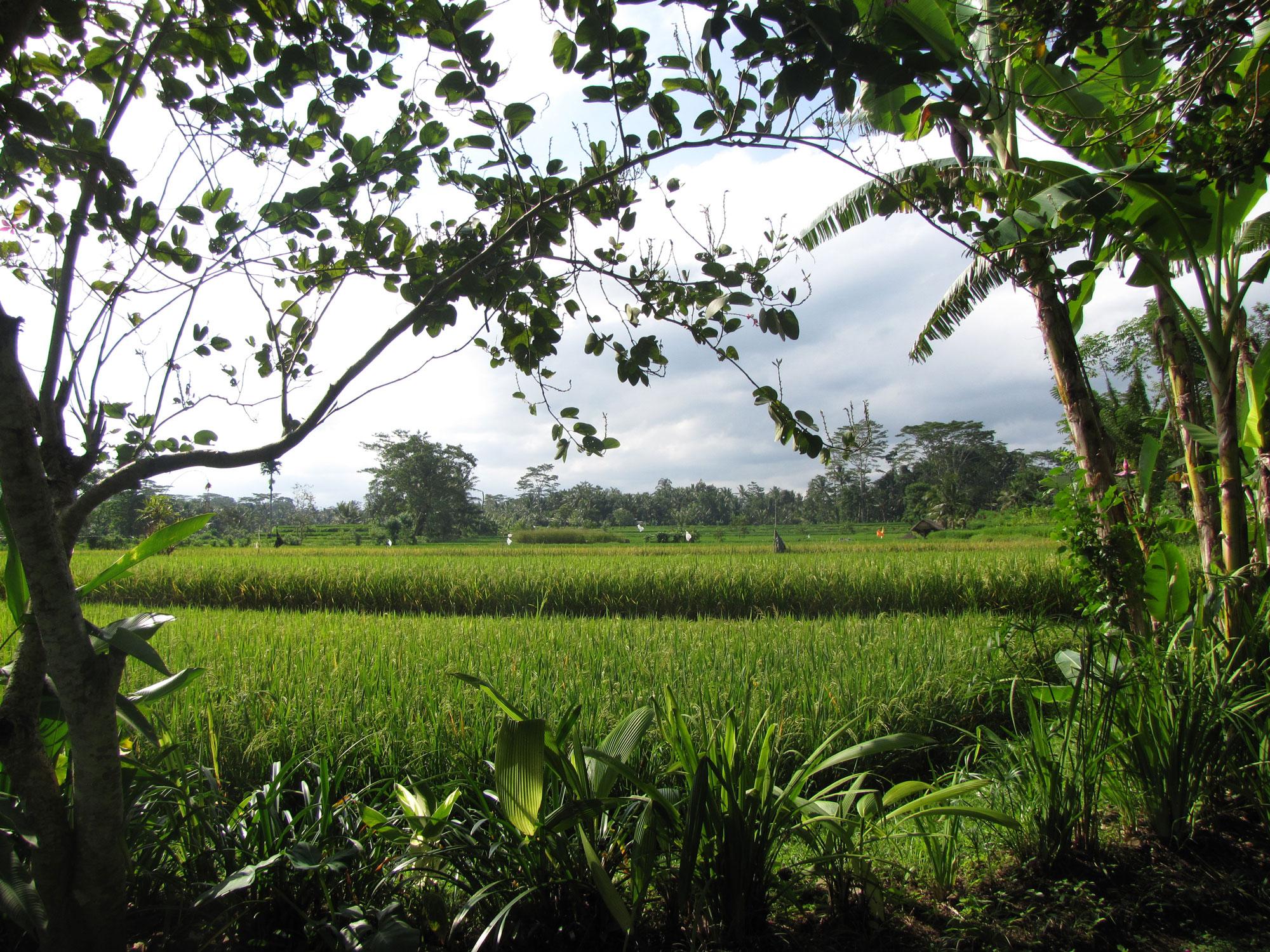 Ubud, día entre arrozales